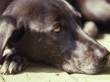 Black Lab Lounges in the Afternoon Sun Photographic Print by Stacy Gold