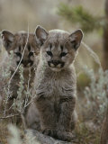 Pair of Eight-Week-Old Cougar Kittens Photographic Print by Jim And Jamie Dutcher