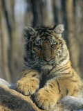 Portrait of a Young Male Siberian Tiger; Raised in Russia and Now Lives in the Minnesota Zoo Photographic Print by Marc Moritsch