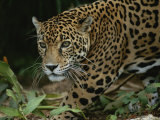 A Close View of a Captive Jaguar, Panthera Onca Photographic Print by Tim Laman