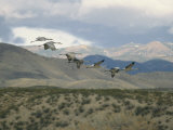 Flock of Sandhill Cranes in Flight over a Hilly Landscape Photographic Print by Marc Moritsch