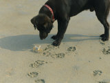 Crab Threatens a Curious Dog on the Beach near Duck Photographic Print by Stephen Alvarez