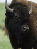 Portrait of an American Bison Photographic Print by Annie Griffiths Belt