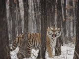 A Gaping Grimace Allows a Siberian Tiger to Take in Scents Photographic Print by Marc Moritsch