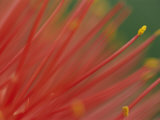 A Close View of a Fireball Lily Flower Photographic Print by Chris Johns