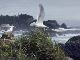 Glaucous-Winged Gulls, the Most Common of Pacific Coast Gulls Photographic Print by Sam Abell