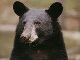 Portrait d'un ours noir Photographie par Melissa Farlow