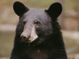 Portrait of a black bear Giclee Print, Nat'l Geographic