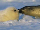 A Mother Harp Seal Sniffs Her Pup for Instant Recognition Reprodukcja zdjęcia autor Brian J. Skerry