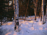 Birch Trees in the Snow at the International Wolf Center Photographic Print by Joel Sartore