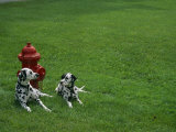 Two Dalmatians Sit on Green Grass near a Red Fire Hydrant Photographic Print by Nadia M. B. Hughes