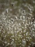 A Close View of Coastal Grass Seedlings Stampa fotografica di Edwards, Jason