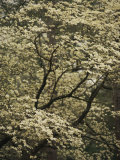 Delicate White Blossoms Fill a Dogwood Tree in the Spring Photographic Print by Raymond Gehman