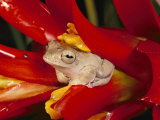 A Tree Frog Shelters in a Bromeliad Photographic Print by George Grall