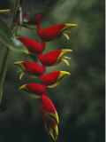 Close View of the Blossoms of a Heliconia Bird of Paradise Plant Photographic Print by Jodi Cobb