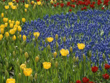 A Garden of Colorful Tulips and Grape Hyacinths in New York City Stampa fotografica di Touzon, Raul