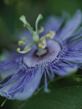 Close View of a Passion Flower on Cumberland Island Photographic Print by Michael Melford