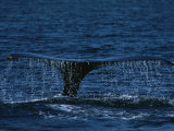 The Tail Flukes of a Humpback Whale Photographic Print by Tim Laman