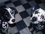 Two Dalmatians Look up from a Black and White Checkered Kitchen Floor Photographic Print by Nadia M. B. Hughes