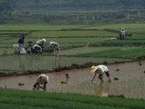 Coltivatori di riso nelle risaie, Guangxi, Cina Stampa fotografica di Gehman, Raymond