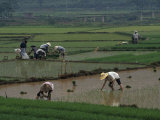 Granjeros en los arrozales, Guangxi (China) Lámina fotográfica por Gehman, Raymond
