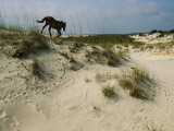 A Windblown Wild Horse Traverses a Sparsely Vegetated Dune on the Island Photographic Print by Melissa Farlow