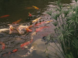 Koi Fish Feed at the Morikami Museum and Japanese Gardens Photographic Print by Nadia M. B. Hughes