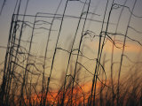 Tall grasses blowing in the wind at twilight Lmina fotogrfica por Raymond Gehman
