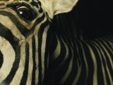 A Zebra Looks Down at the Photographer Photographic Print by Steve Winter
