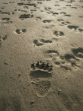 Grizzly Bear and Caribou Tracks, Firth River, Yukon Territory Stampa fotografica di Melford, Michael