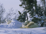 A Polar Bear Cub Peeks from a Snow Drift as Mother and Twin Cub Rest Reproduction photographique par Norbert Rosing