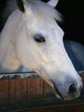 Portrait of a White Horse Looking Out the Door of its Stall Lámina fotográfica por Gold, Stacy