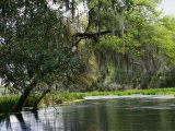 Spanish Moss Fills Tree Branches Overhanging a Waterway Impresso fotogrfica por Raymond Gehman