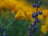Close View of Mexican Poppies and Other Wildflowers Photographic Print by Annie Griffiths Belt