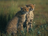 A Portrait of a Pair of Juvenile African Cheetahs Photographic Print by Chris Johns