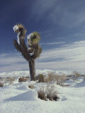 A Rare Snowfall on a Beaked Yucca Plant and the Mojave Desert Photographic Print by Gordon Wiltsie
