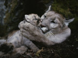 Mother Mountain Lion, Felis Concolor, Grooms a Two-Week-Old Kitten Photographic Print by Jim And Jamie Dutcher
