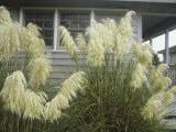 Pampas Grass Growing Outside a Hilton Head Beach House Fotografisk tryk af Charles Kogod