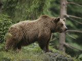 Portrait of a Brown Bear Fotografisk tryk af Norbert Rosing