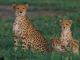 A Portrait of a Female African Cheetah and Her Three Cubs Fotoprint van Chris Johns