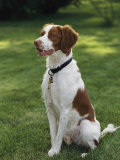 Portrait of a Brittany Spaniel Photographic Print by Paul Damien