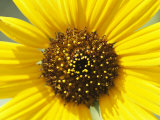 Close View of a Sunflower Photographic Print by Marc Moritsch
