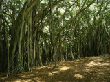 A Grove of Banyan Trees Send Airborn Roots Down to the Forest Floor, Photographic Print