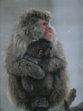 A Mother Snow Monkey, or Japanese Macaque, Holds Her Infant Photographic Print by Annie Griffiths Belt