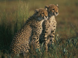 A Portrait of a Pair of Young African Cheetahs Photographic Print by Chris Johns