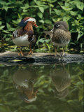 Male and Female Mandarin Ducks on a Log Photographic Print by Tim Laman