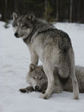 Gray Wolf Stands over a Pack Member Lying in Snow Photographic Print by Jim And Jamie Dutcher