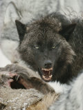 Gray Wolf Growls a Warning as It Feasts on a Deer Photographic Print by Jim And Jamie Dutcher