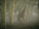 A Giraffe Stands in a Misty Forest in the Ndumu Game Reserve Photographic Print by Chris Johns