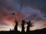 Spanish Bayonet Yucca Plants Silhouetted against the Evening Sky Photographic Print by Annie Griffiths Belt